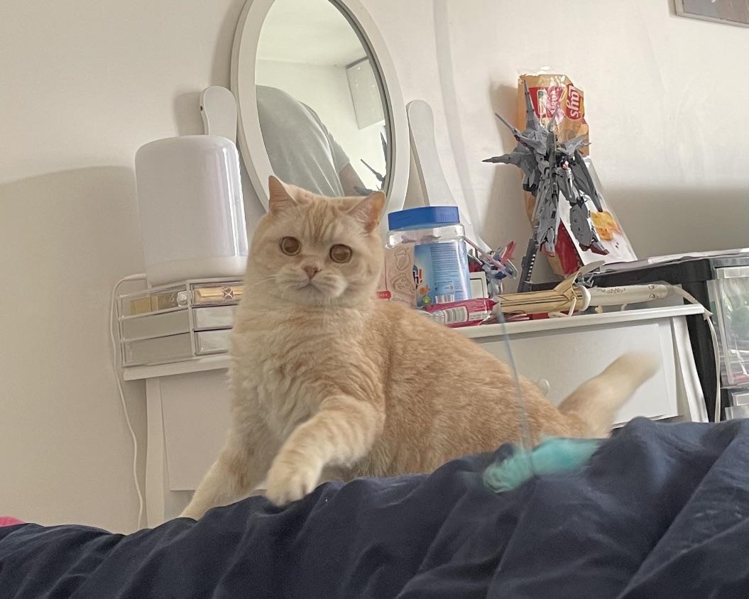 豆奶,一只真正的猎猫。