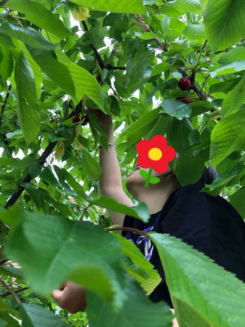 🍒后院的樱桃