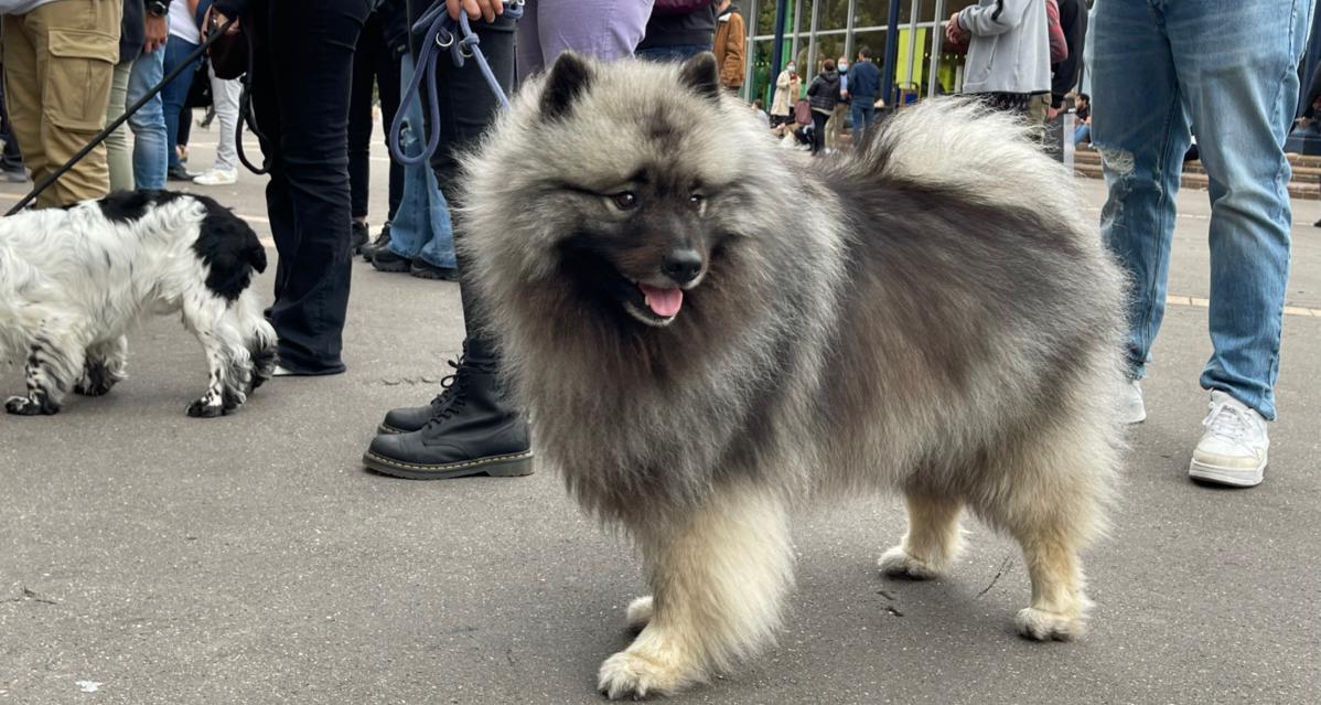宠物展上的胖狗狗  胖狗狗